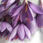 گل چیده شده زعفران
