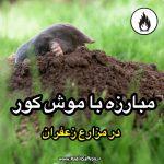 مبارزه با موش کور در مزرعه زعفران