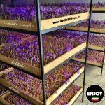 گلخانه زعفران آیروپونیک