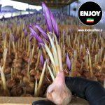 گلدهی همزمان ۴ گل در گلخانه آیروپونیک زعفران