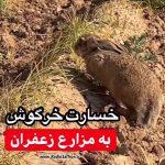 خسارت خرگوش به مزارع زعفران