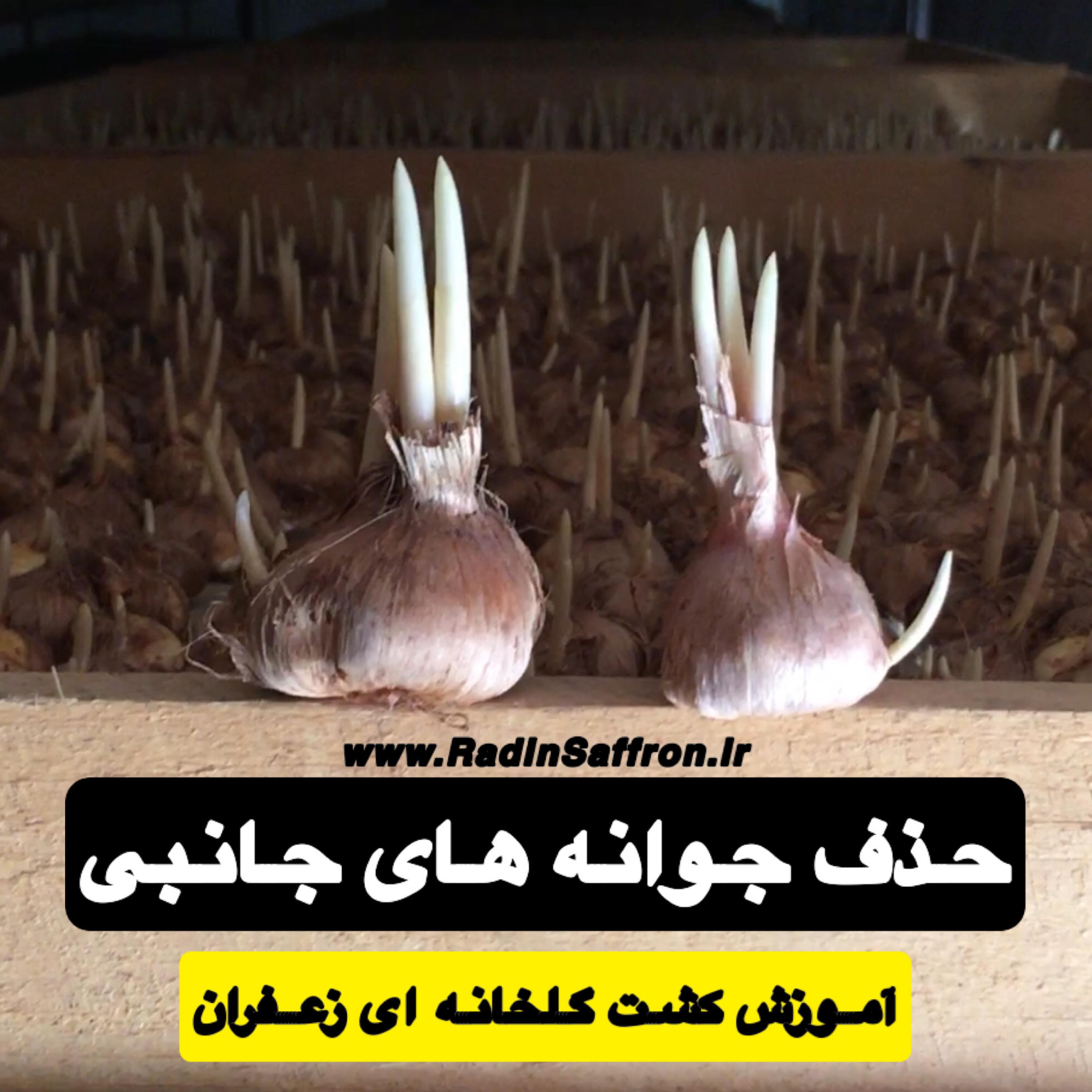 مدرک زعفران گلخانه ای