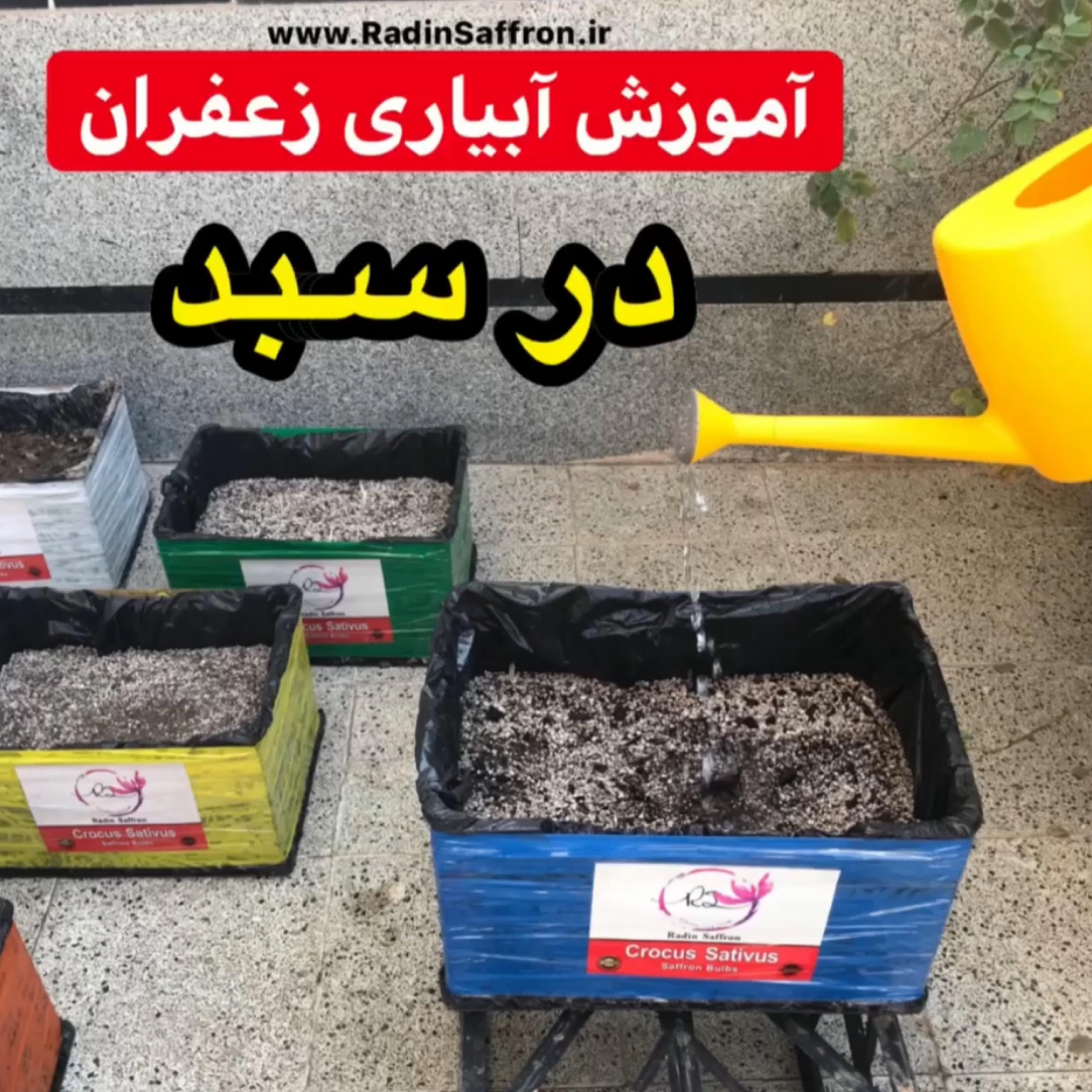 آموزش آبیاری زعفران در سبد یا گلدان + فیلم آموزشی