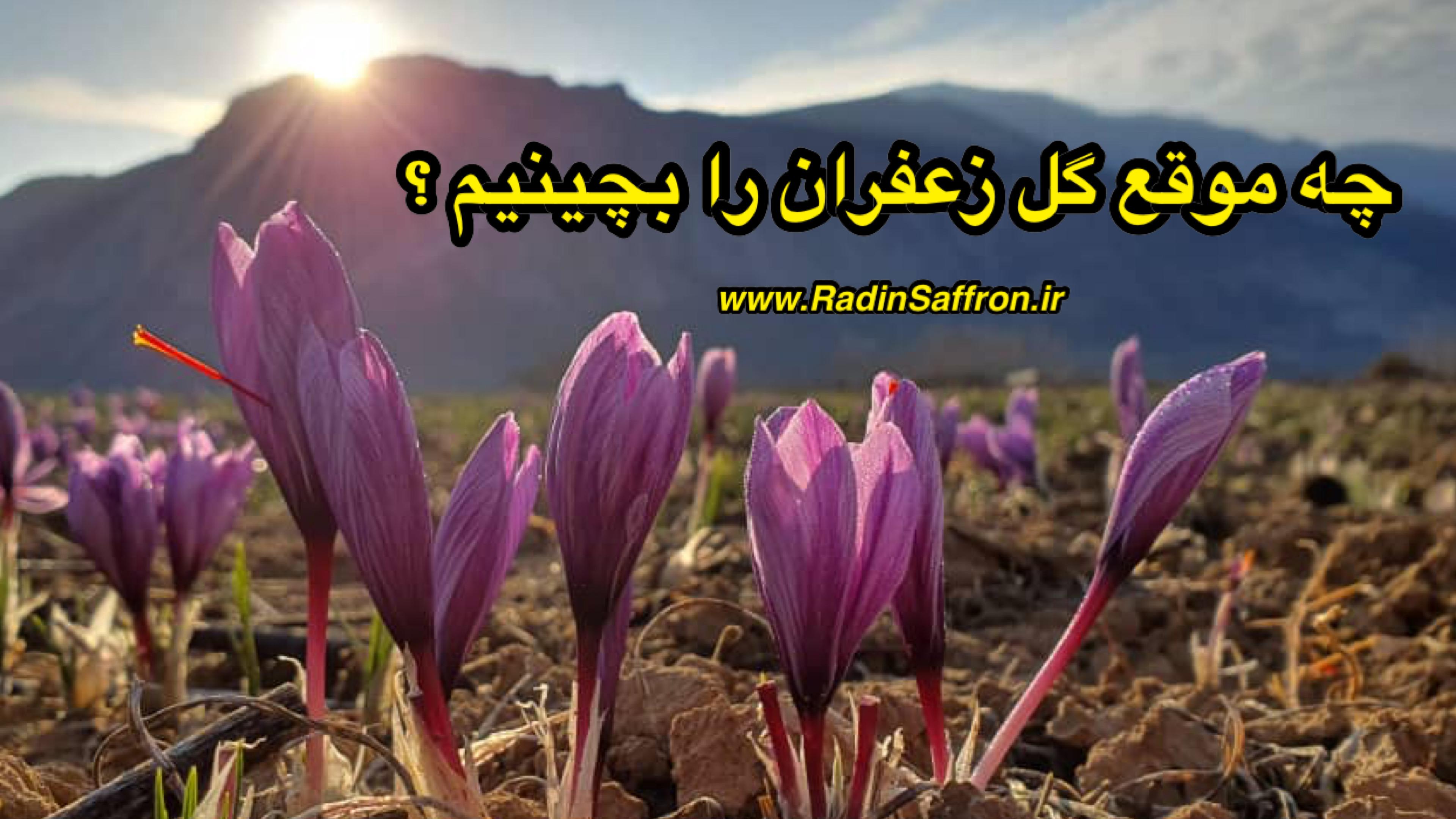 زمان چیدن گل زعفران