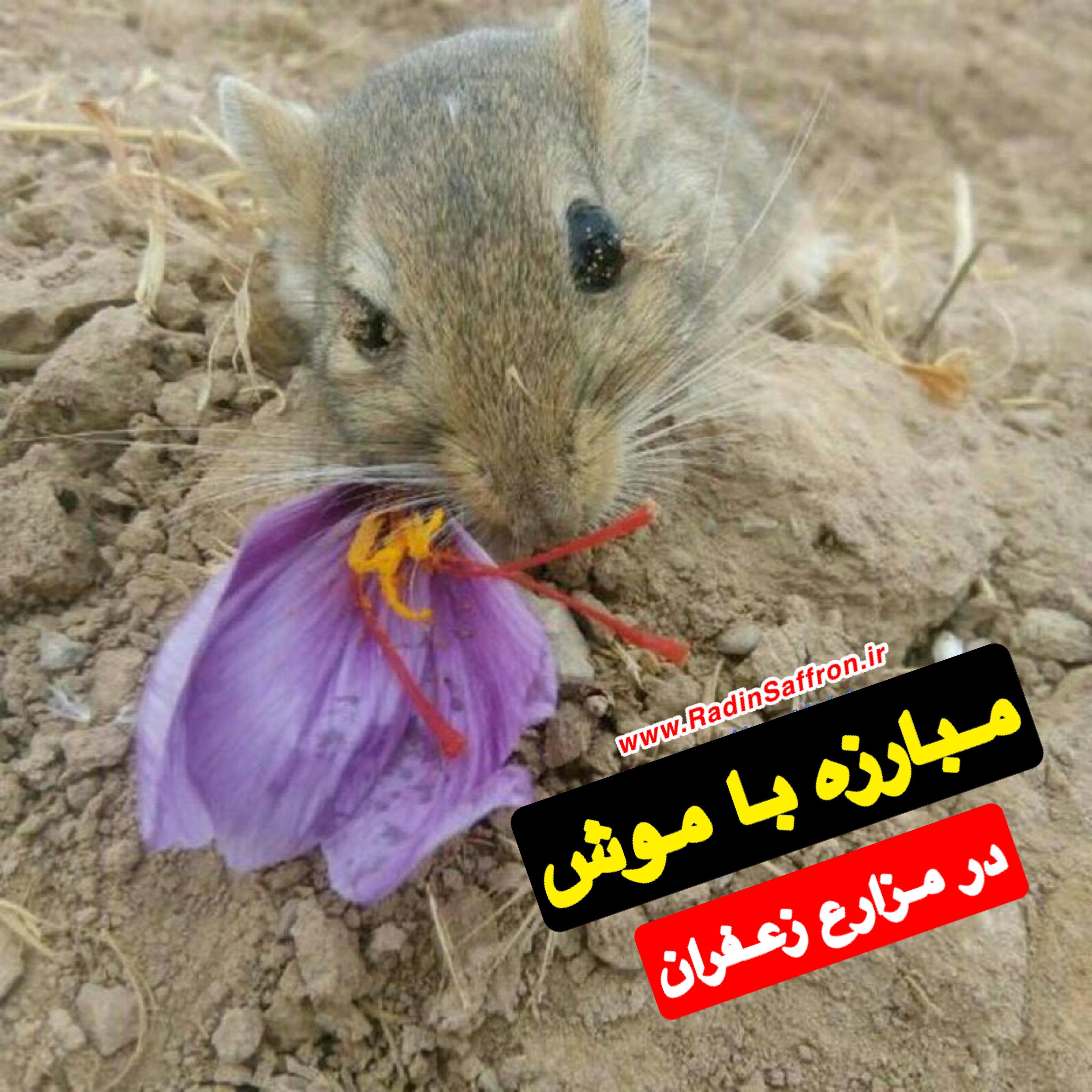 موش زعفران