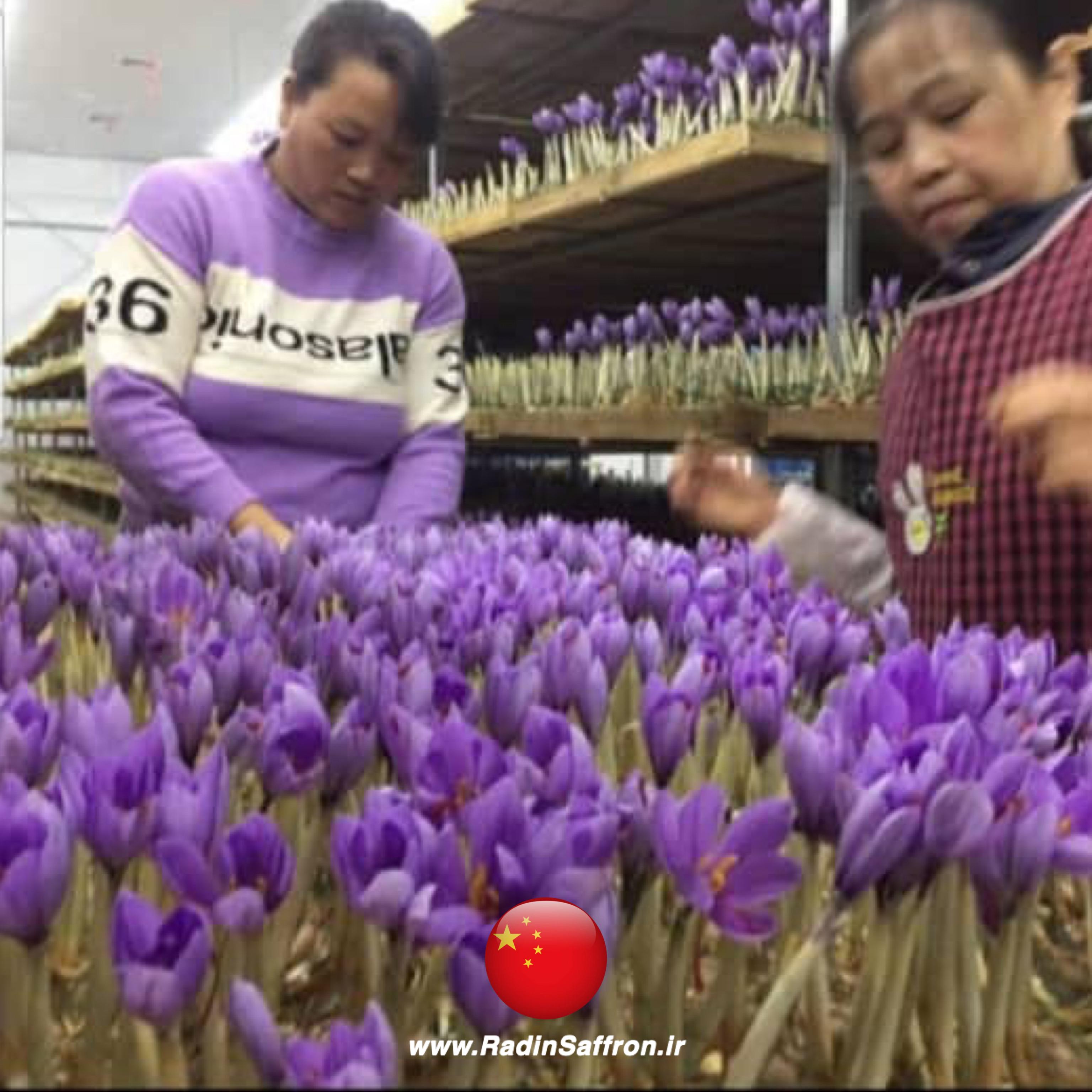 برداشت زعفران در چین