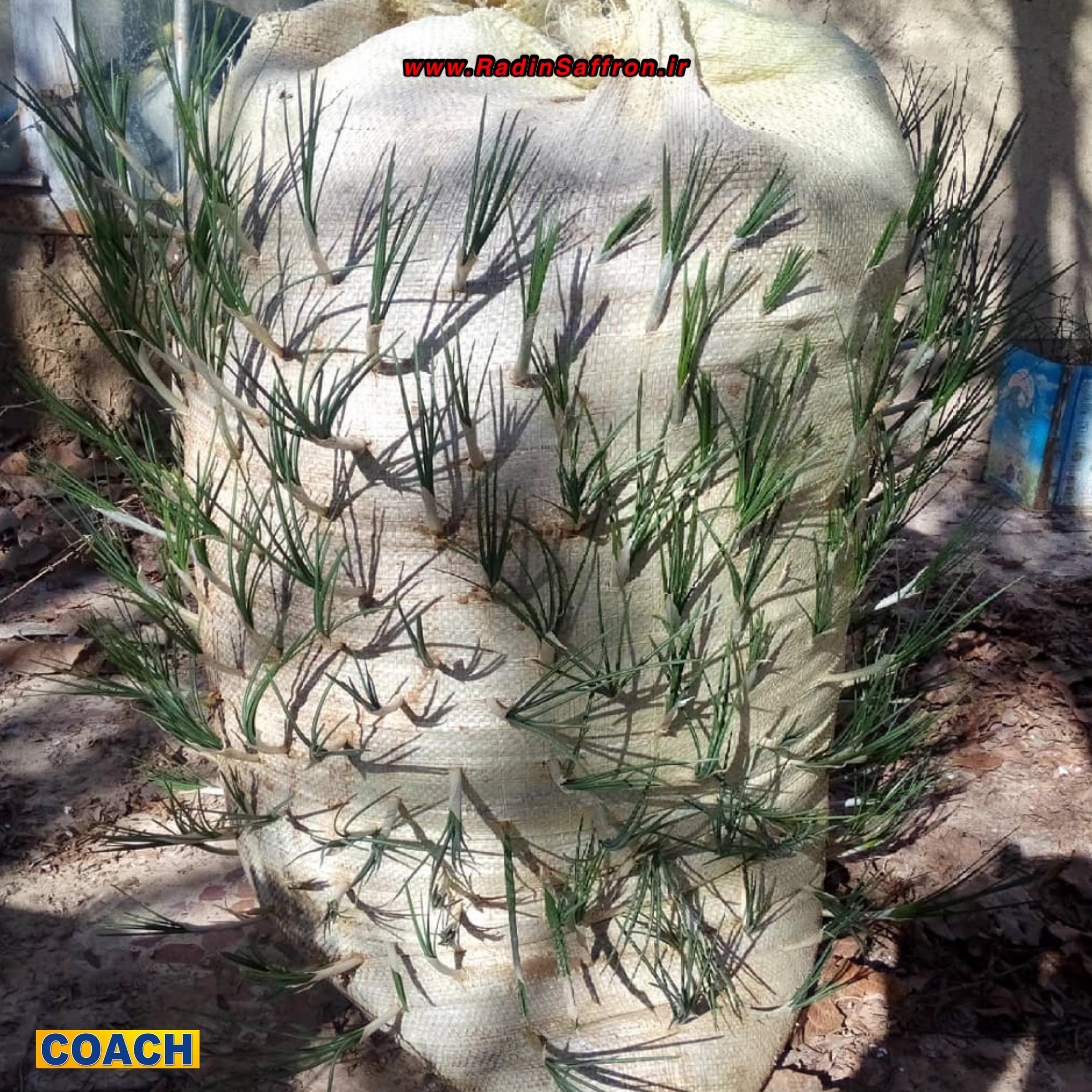 تکثیر پیاز زعفران در گونی