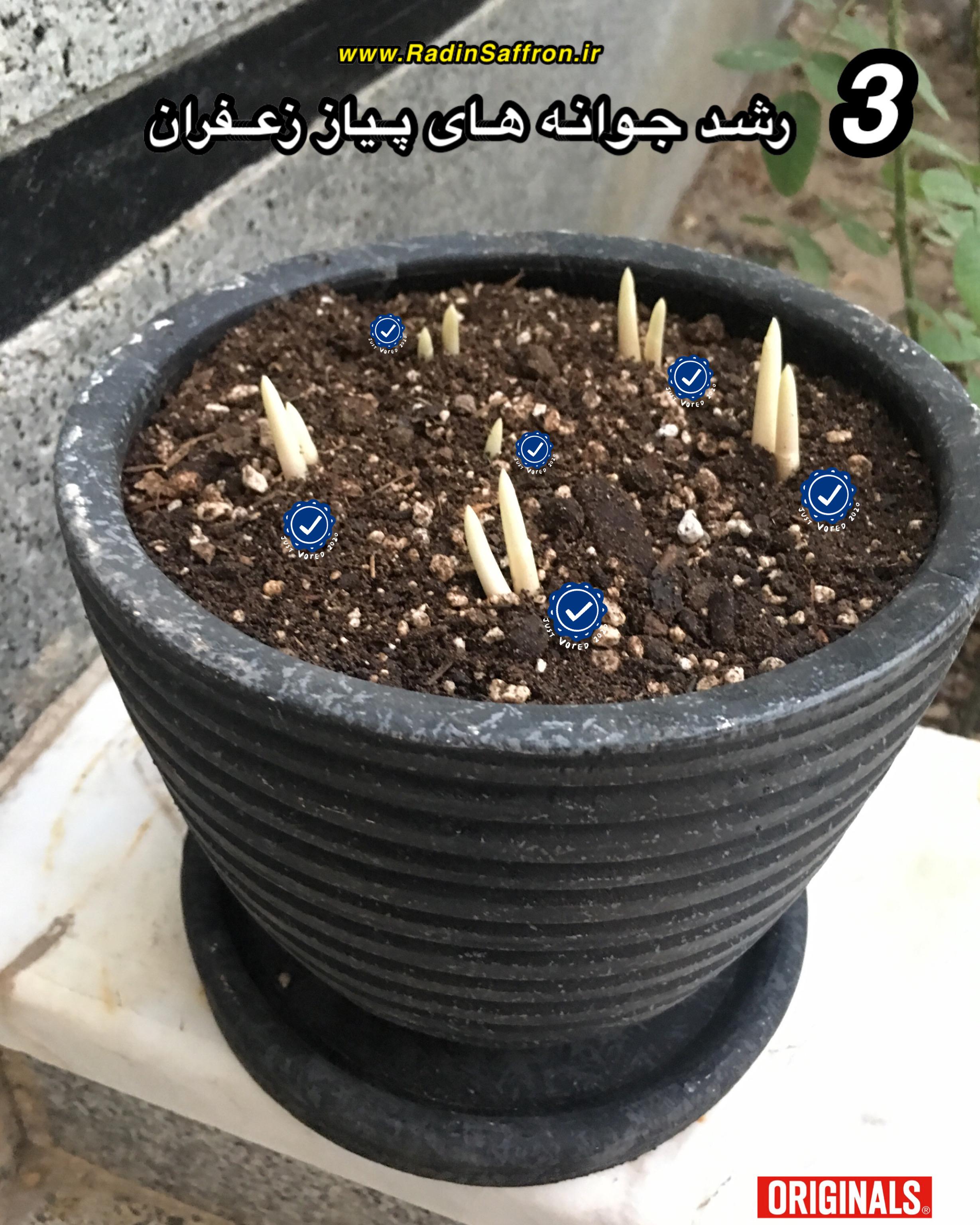 آموزش آبیاری زعفران در گلدان