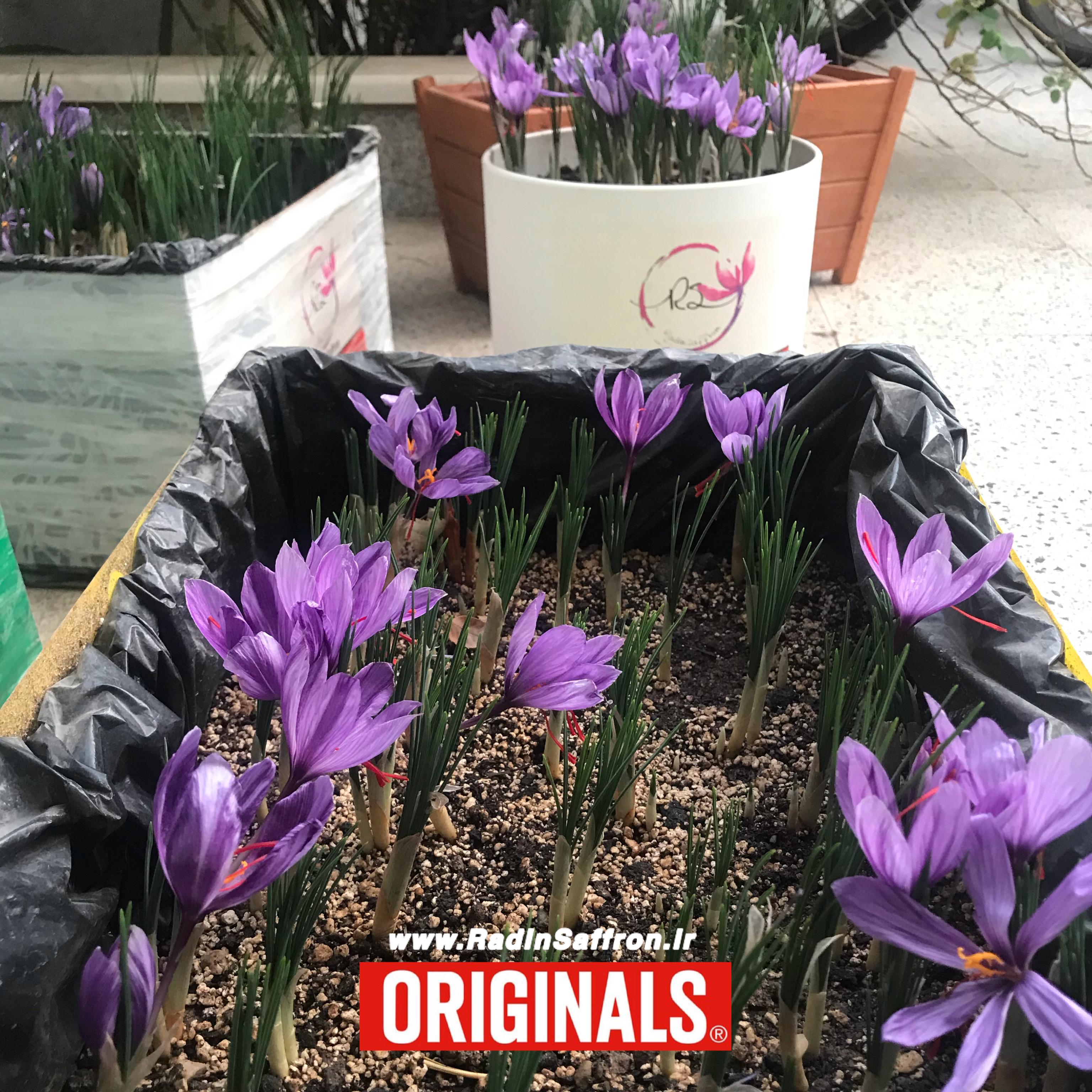 زمان گلدهی زعفران در گلدان