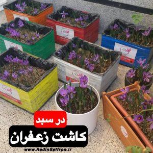 خرید پیاز زعفران مخصوص گلدان